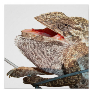 A Chameleon With Open Mouth Isolated Poster