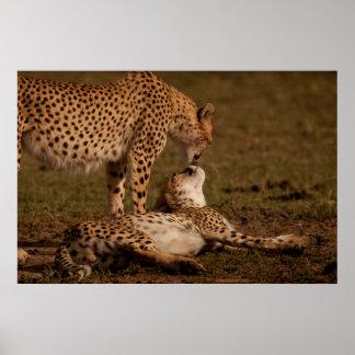 A Cheetah's Kiss Posters