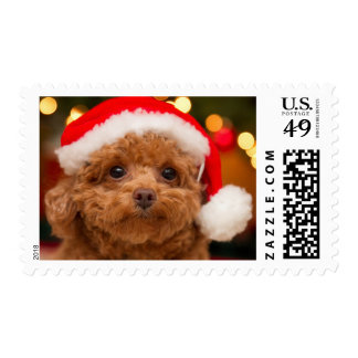 A close up, of a red toy poodle postage