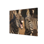 A close-up of a Zebra showing its teeth, Canvas Print