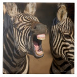 A close-up of a Zebra showing its teeth, Large Square Tile