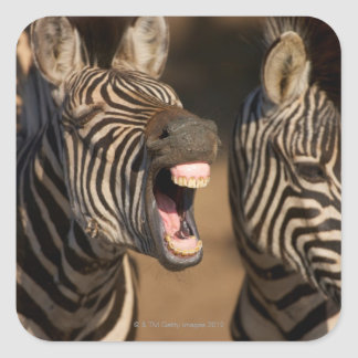 A close-up of a Zebra showing its teeth, Square Sticker