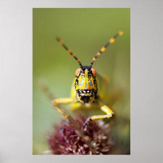 A close-up of an Elegant Grasshopper Poster