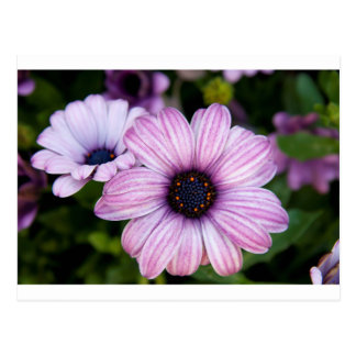 A close view of  a kind of daisy, Bodrum daisy Postcard