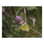 A Clouded Sulphur Poster