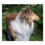 A  COLLIE POSTER