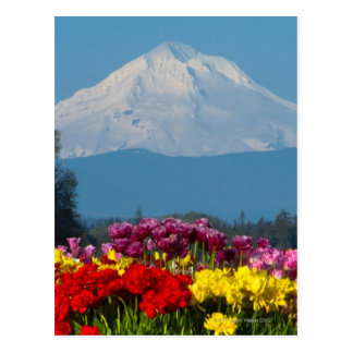 a compressed view of Mt Hood, Oregon and tulip Postcard