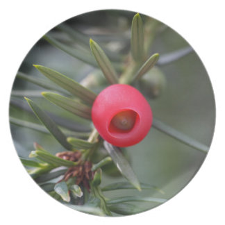 A cone of a yew (Taxus baccata) Dinner Plate