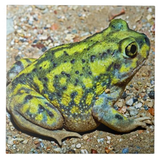A Couch's Spadefoot toad Ceramic Tile