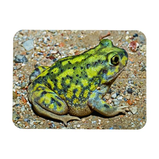 A Couch's Spadefoot toad Magnet
