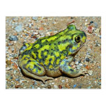 A Couch's Spadefoot toad Postcards