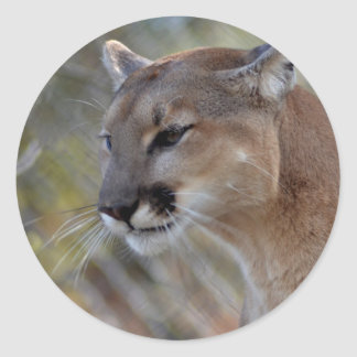 A Cougar in deep thought Classic Round Sticker