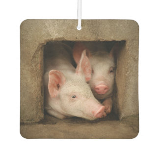 A couple of curious piglets stick their heads car air freshener