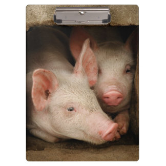 A couple of curious piglets stick their heads clipboard