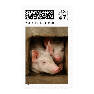 A couple of curious piglets stick their heads stamp