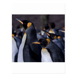 A couple of King Penguins Postcard