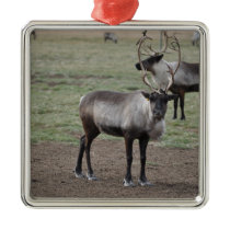 A couple Reindeer in a field on a caribou farm Metal Ornament
