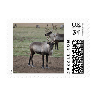 A couple Reindeer in a field on a caribou farm Postage