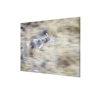 A coyote runs through the hillside blending into canvas print