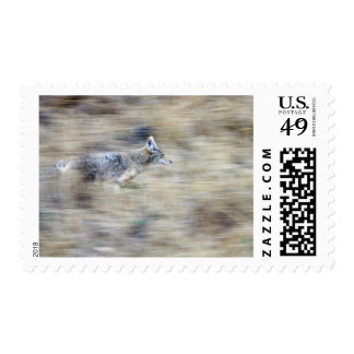A coyote runs through the hillside blending into postage stamp