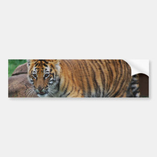 A cute baby tiger bumper sticker