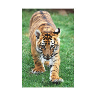 A cute baby tiger stretched canvas print