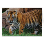 A cute baby tiger cards