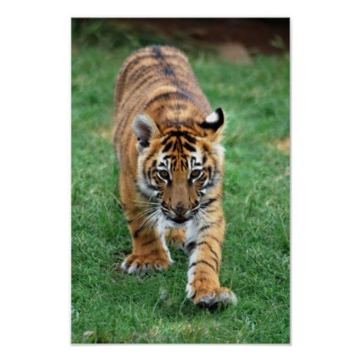 A cute baby tiger cub poster