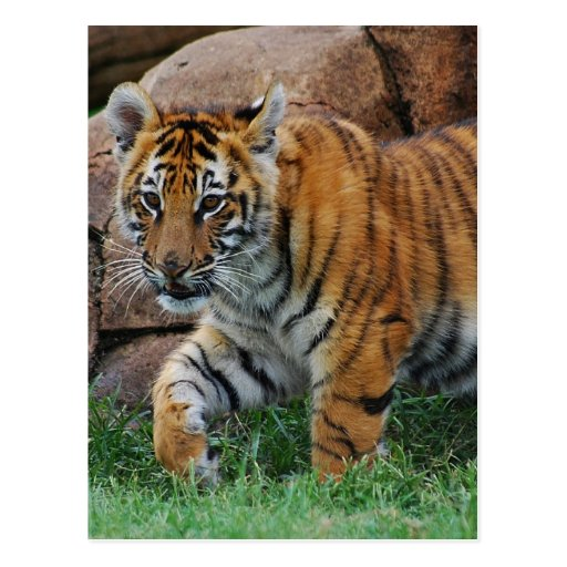 A cute baby tiger post card