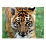 A cute baby tiger post cards
