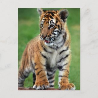 A cute baby tiger postcard