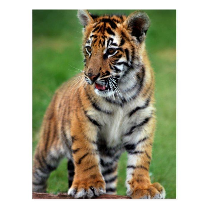 A Cute Baby Tiger Postcard Zazzle Com