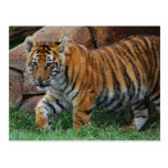 A cute baby tiger postcard