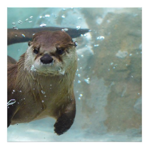 A cute Brown otter swimming in a clear blue pool Photo