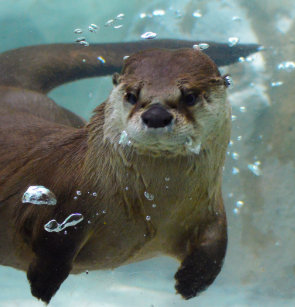 A Cute Brown Otter Swimming In Clear Blue Pool Shower Curtain