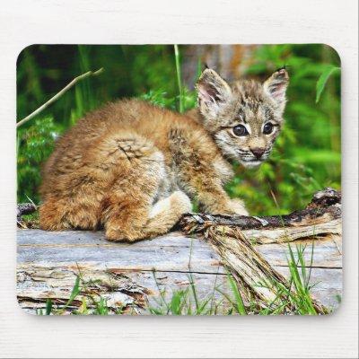 Canadian Lynx Kitten. A Cute Little Canadian Lynx