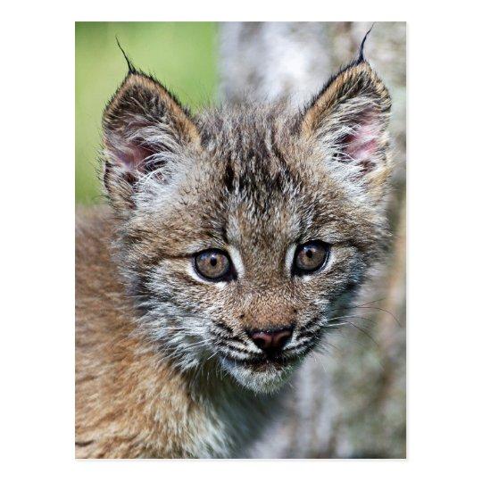 A Cute Little Canadian Lynx Kitten Postcard