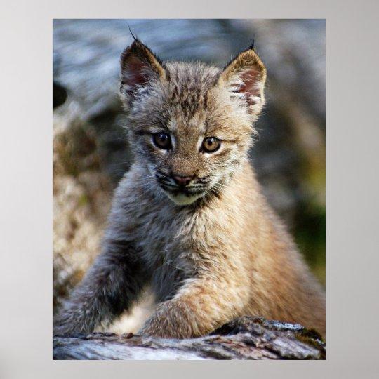 A Cute Little Canadian Lynx Kitten Poster