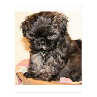 A Cute Shih Tzu Pup makes this product adorable Postcard