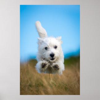 A Cute West Highland Terrier Puppy Running Poster