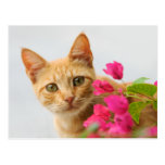 A cutie red tabby kitten is watching you. post card