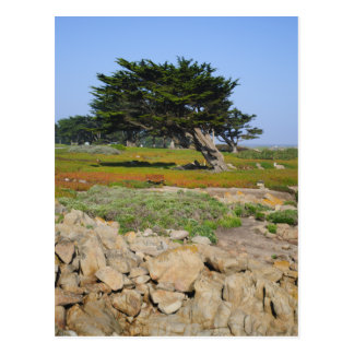 A Cypress On Ocean View Postcards