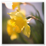 A daffodil in the sunset art photo