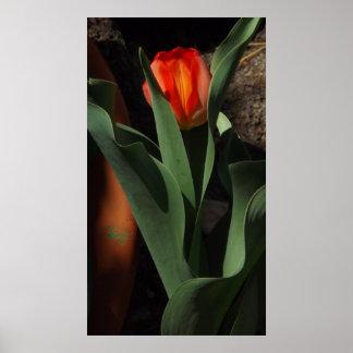 A Delicate Tulip Poster
