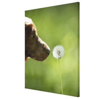 A dog and a dandelion. stretched canvas prints