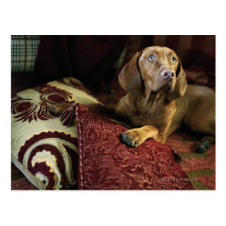 A dog lying on pillows. postcard