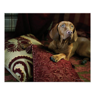 A dog lying on pillows. poster