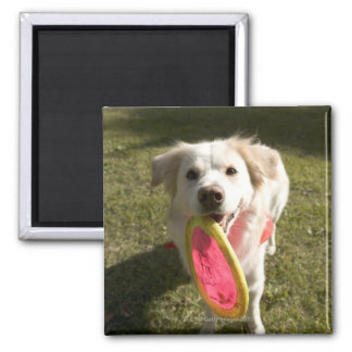 A dog with a frisbee 2 inch square magnet