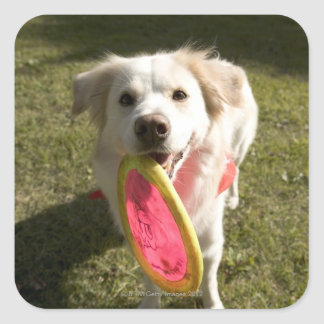 A dog with a frisbee square sticker