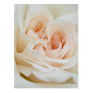 A Double Hearted Romantic White Rose Postcard
